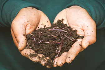 Kompost-Würmer
