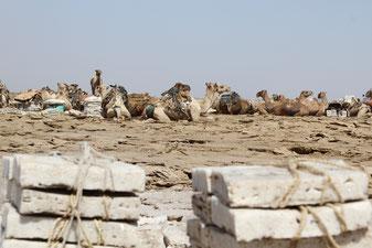 караваны верблюдов в Данакиле