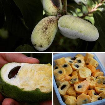 幻の果物、ポポーの栽培