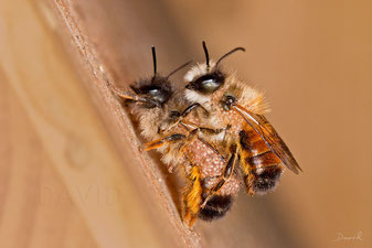 Milbe Chaetodactylus osmiae Rote Mauerbiene Osmia bicornis  insect nesting aid insect hotel  parasite mite red mason bee