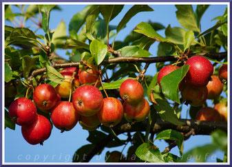 Apfelbaum bei Middelhagen.