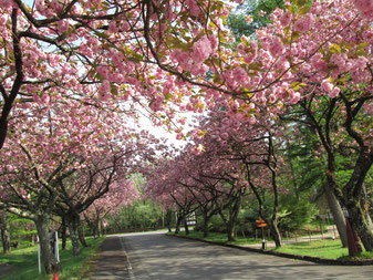 2015年5月初め ゆと森倶楽部八重桜です