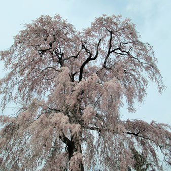 京都から来たという、常称寺の枝垂れ桜です、圧巻!