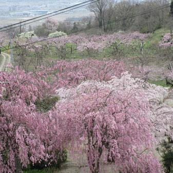 常称寺の枝垂桜、桃、梨、と見渡せます