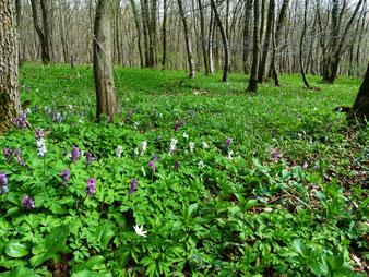 Bunt blühende Waldvegetation offener Wälder