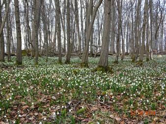 Viele großflächige Märzenbechervorkommen in naturnahen Wäldern