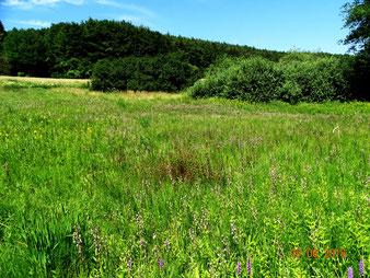 Einige Kalkflachmoore mit vielen Arten der Roten Listen, hier mit Massenbestand Epipactis palustris