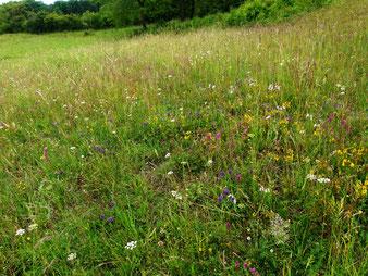 Mageres Grünland artenreich und buntblühend