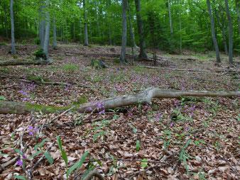 Lichter Kalkbuchenwälder, hier mit Massenbetand von Rotes Waldvögelein