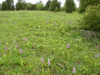 Orchis militaris auf Kalk-Halbtrockenrasen