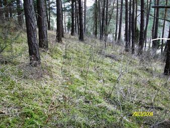 Hochartenreiche Mooskieferwälder (Pyrolo-Pinetum)