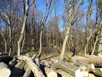 Lichtdurchflutete Bauernwälder durch Brennholzgewinnung
