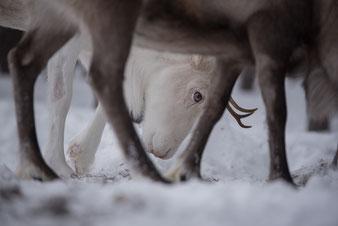 Reisebericht Lappland 2019