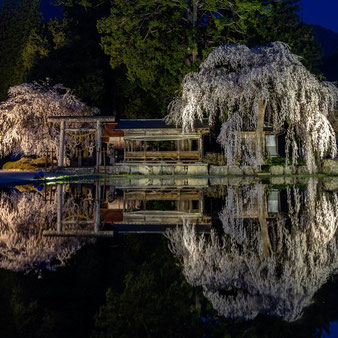 青屋神明神社の枝垂れ桜ライトアップ