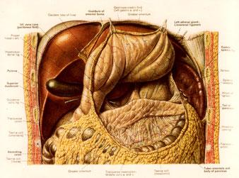 胃と膵臓の位置