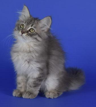 immagine allevamento gatto siberiano