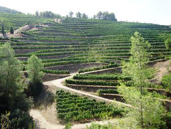 Виноградники Каталонии