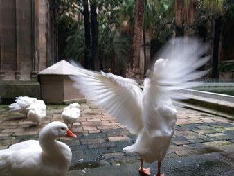 Барселона. гуси Святой Евлалии. экскурсии