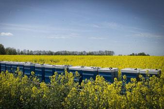 blaue Bienenstöcke in gelben Raps mit blauen Himmel