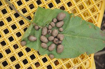 ヤマイモ 自然栽培 農業体験 体験農場 野菜作り教室  さとやま農学校