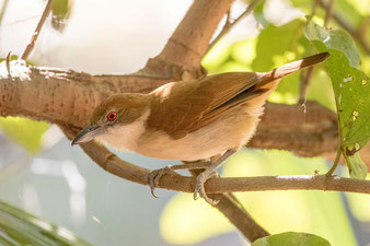 Weißbrust-Ameisenwürger (Taraba major) - Great Antshrike
