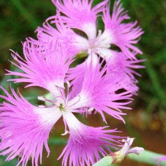 ナデシコの花びらは細い糸が集まった様な花びら