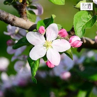 リンゴの花言葉は「選ばれた恋」なので恋人同士や夫婦で贈るのにピッタリ