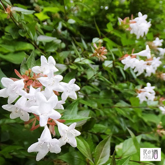 アベリアの花言葉は「強運」