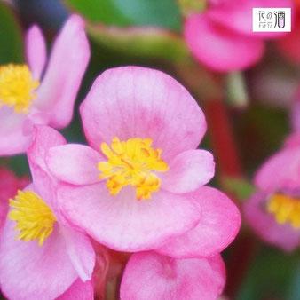 ベゴニアの花言葉は「片思い」や「愛の告白」