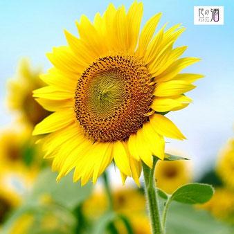 ひまわりの花言葉は「愛慕、光輝、憧れ」