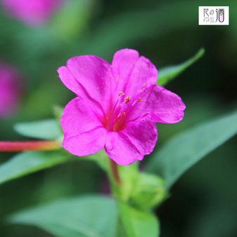 オシロイバナの花言葉は「臆病、内気」