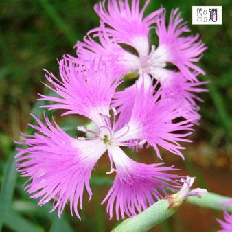 繊細で清楚な印象でナデシコの花言葉は「純愛」