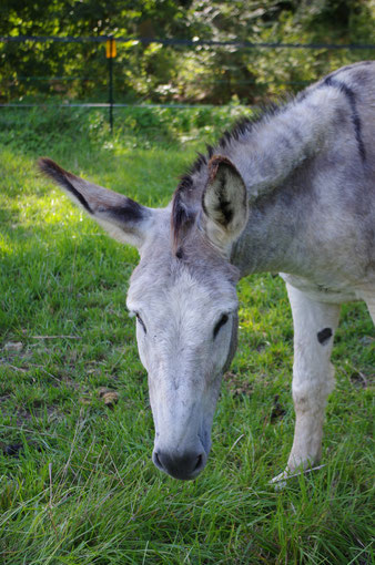 Oscar, common donkey, 2002