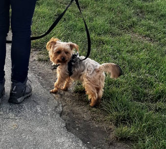 Snoopy, Yorkshire Terrier