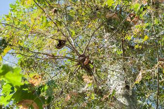 Notate come dal moncone non c'è nessuna ricrescita, mentre lateralmente si assiste ad una folta e disordinata crescita di ramoscelli e fogliame.