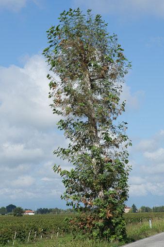 Dopo la capitozzatura l'albero ha una ricrescita innaturale e più folta di prima.