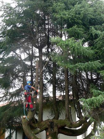 Qui possiamo vedere la conseguenza di una capitozzatura: dove prima c'era la punta, l'albero ha fatto crescere molte punte con molti rami. L'albero ha assunto una forma innaturale aumentando a dismisura le sue dimensioni.
