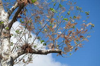 L'albero con il vertice mozzato perde il suo punto di riferimento e qualsiasi ramoscello che nasce dai monconi dei rami tende verso l'alto nel tentativo di sostituire la punta.