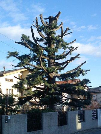 Esempio di capitozzatura, rami monchi e punta decapitata. Su quella punta cresceranno in breve tempo molte altre punte togliendo all'albero la sua forma naturale.
