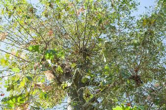 Quest'albero nel giro di breve tempo avrà più rami e fogliame di prima della capitozzatura, avrà perso la sua bellezza e dovrà essere potato prima del tempo previsto con una corretta potatura.
