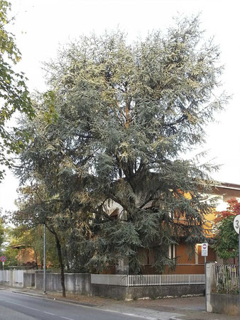 L'albero prima dell'intervento di Rampicante