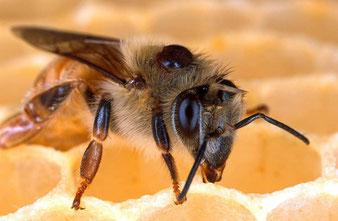 Biene mit Varroa Milbe