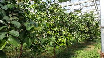 Guaven-Anpflanzung Tropenhaus am Rennsteig