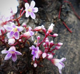 Sternfrucht-Blüten am Stamm
