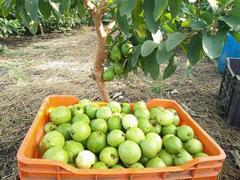 Guaven-Ernte