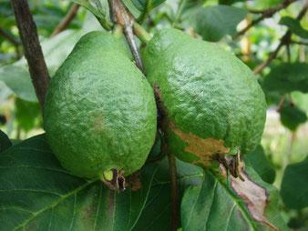 Guaven im Tropenhaus am Rennsteig