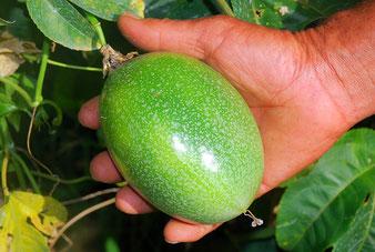 Passiflora edulis var. edulis