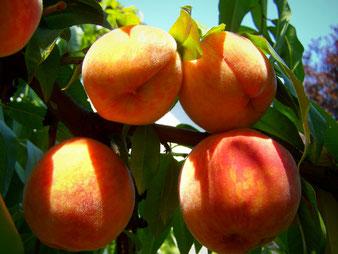 Pfirsich-Fruchtstand
