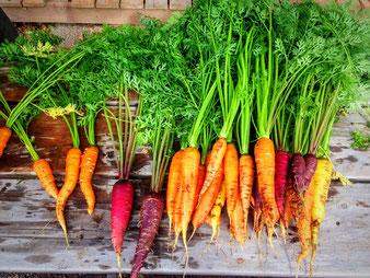 Karotten vor der Einlagerung