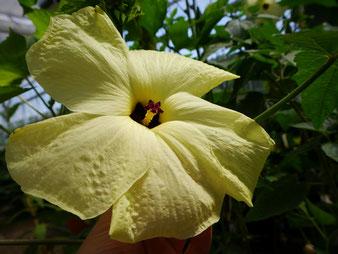 Okra-Blüte im Tropenhaus am Rennsteig
